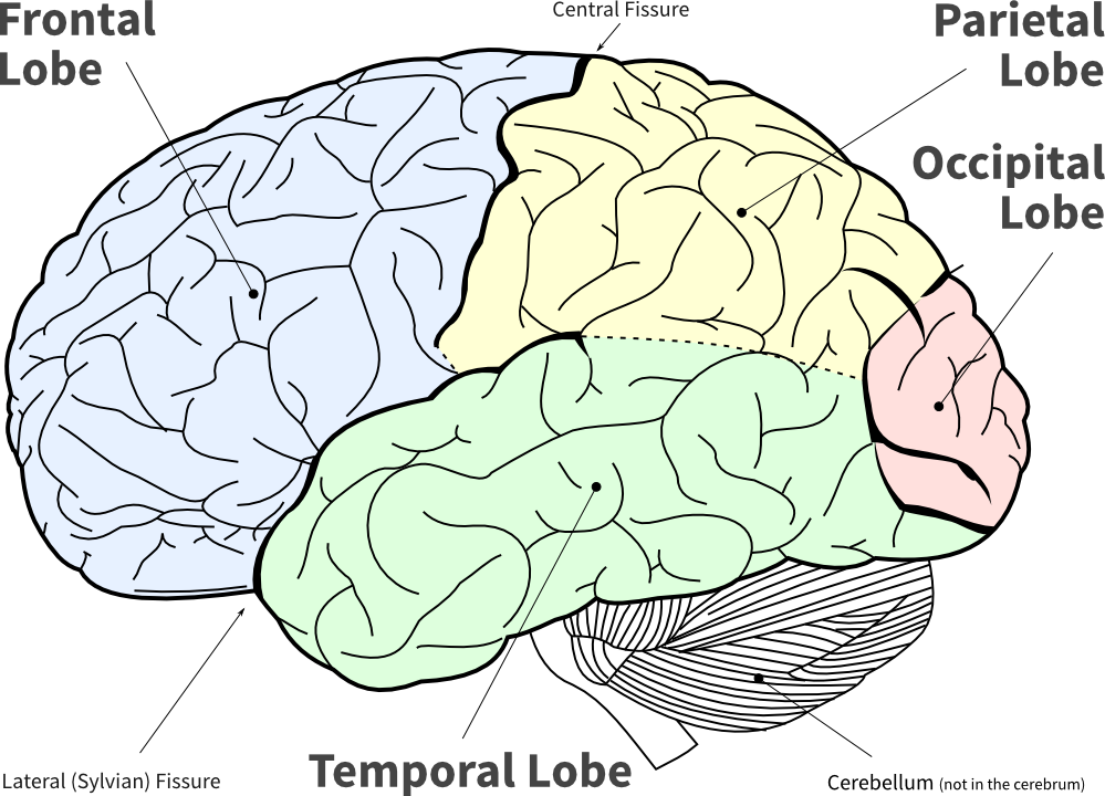 LoFi diagram of the main brain lobes